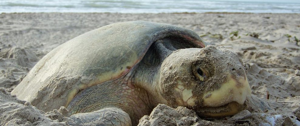 A nesting sea turtle